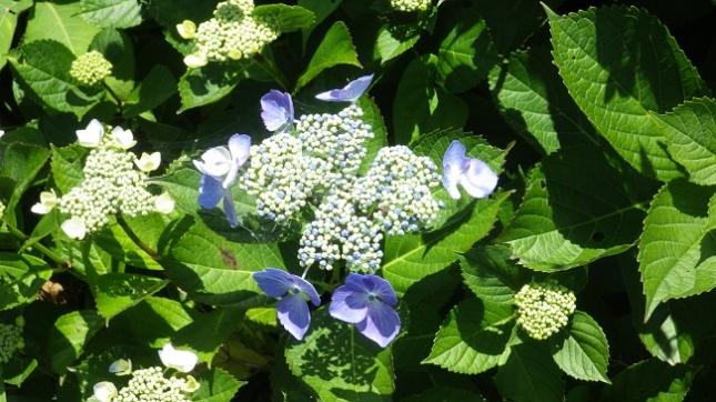 036紫陽花