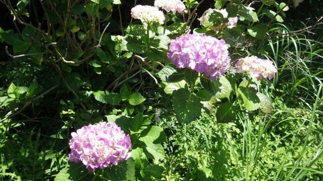 040紫陽花