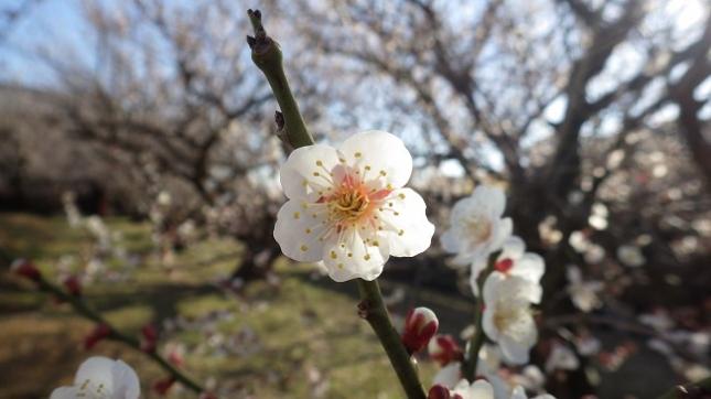 ⑪259小田原梅祭り170204